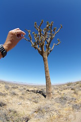 Joshua Tree (ron.photographer) Tags: california city tree desert joshua mojave