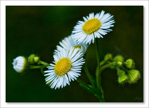 Kopretinka  [The sweet daisy wheel]