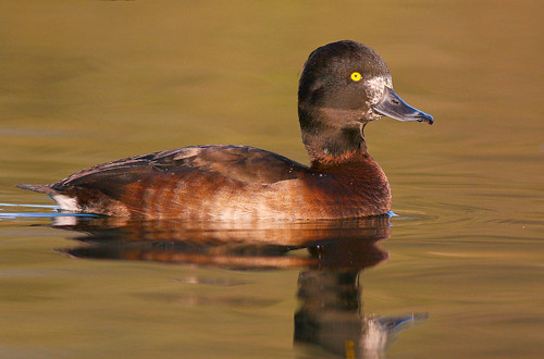 Tufted Duck - IMG_5179