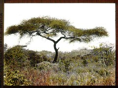 Acacia tree and vegetation (The Field Museum Library) Tags: africa tree expedition kenya fabaceae 1906 mammals acacia 1905 handtinted lanternslide voi acaciatree britisheastafrica carlakeley zoologyexpedition handcoloredglasslanternslide