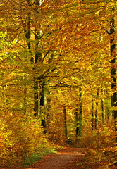 Autumn colours (Ingrid0804) Tags: wood autumn trees friends fall forest denmark path autumncolours beech beechwood coth goldenleaves gribskov 100commentgroup saariysqualitypictures
