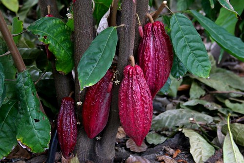 And cocoa pods!