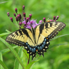 Eastern Tiger Swallowtail (Vicki's Nature) Tags: black yellow female canon butterfly purple tiger swallowtail easterntigerswallowtail s5 tigerswallowtail papilioglaucus ironweed gamewinner digitalcameraclub 6722 bej 15challengeswinner natureoutpost vickisnature beautifulworldchallenges 100commentgroup gamesummer bwcgbutterflies aas2010 motheranything mothercolorful threemedals faves3039 faves3039x2 15challengespretty denverauduboncomp2012 readymother readygamex2