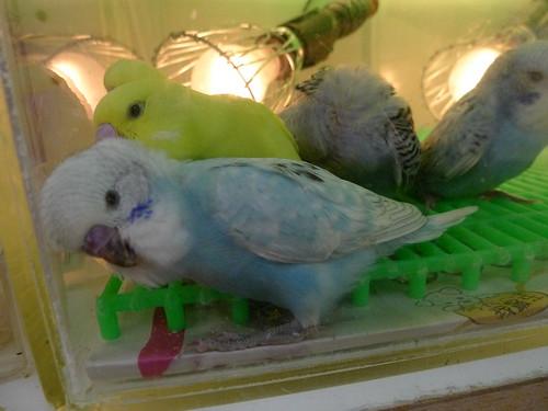 萬華鳥街-大頭鸚鵡寶寶