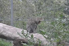 DSC_0146 (Douce Folie) Tags: lion du puma parc tigre lynx flin panthre lopard gupard lionne flins tigredesibrie lionceau tigreblanc canadalynx panthredesneiges panthrenoire couguar lynxboral chatdudsert pardelleservalcaracalmanulmargaychat