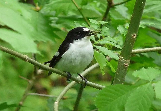 24438 - Pied Flycatcher, Elan Valley