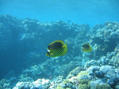 136_3699 (LarsVerket) Tags: egypt snorkling fisk undervannsfoto