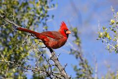 Another Cardinal Week in Arizona (jhaskellus) Tags: arizona bird desert cardinal superior boyce boycethompsonarboretum boycethompson northerncardinal malenortherncardinal goldstaraward jhaskellus jhaskell jackhaskell virtualjourney