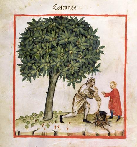 022- Recogida y preparacion de las castañas-TACUINUM SANITATIS- Biblioteca Casanetense Ms. 4182