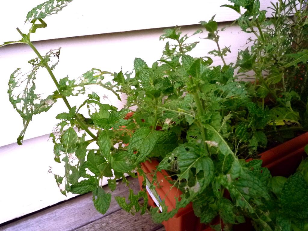 Fledgling Herb Garden