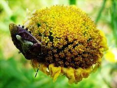 (MelindaChan ^..^) Tags: plant flower macro closeup bug insect dof guilin bugs mel melinda 漓江 supermacro lijiang guangxi 桂林 廣西 chanmelmel melindachan