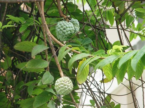 Chirimoyas verdes