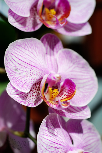 ABG_orchid4[2009]