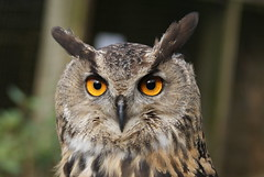 'Lookin at u lookin at me' (European Eagle Owl) (;-) SHAGGY) Tags: castle eyes european eagle cumbria owl muncaster worldowltrust thewonderfulworldofbirds straightfromcamerasmallcrop