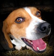 Beagle Smile (ambermarie9187) Tags: dog beagle huntingdog