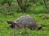 DSC01501 Galapagos tortoise