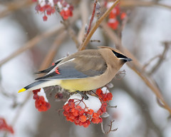 Cold Feet (Fort Photo) Tags: winter snow cold tree bird nature birds animal berry nikon colorado berries native fort wildlife birding fortcollins co collins ornithology 2009 waxwing cedarwaxwing avian brrr mountainash larimer d300 bombycillacedrorum passeriformes 300f4 specanimal bombycillidae impressedbeauty aplusphoto avianexcellence