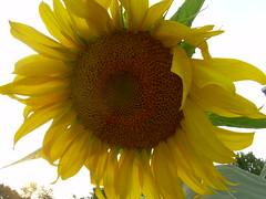 Generosity (turahbird) Tags: sun yellow photo warmth photograph sunflower photoart generosity