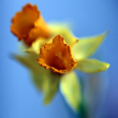 Happy Blue Monday! (JannaPham) Tags: blue flower macro beauty yellow canon garden happy eos golden spring dry explore mature daffodil 5d monday ripe markii hbm project365 explorefrontpage 58365 jannapham cccunanimous