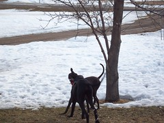 Gimme that ball! (legallyglinda) Tags: dog snow ball fight over