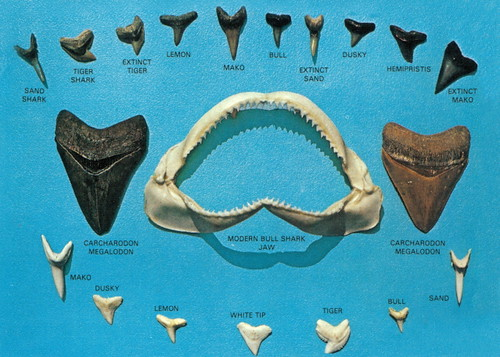 bull shark tooth. Fish - Sharks teeth blue