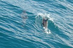 DSC_0173 (mjmermis) Tags: hawaii dolphins kauai napalicoast
