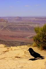 Pretty Bird (rwhitney22) Tags: park red arizona black bird rock grand canyon national flagstaff crow