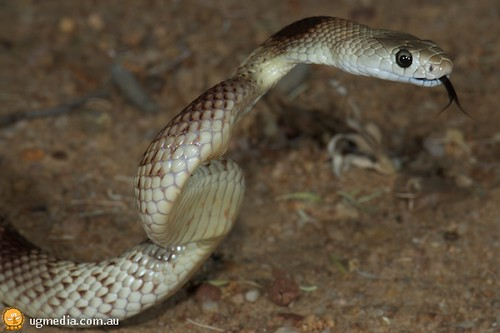 Speckled brown snake (Pseudonaja guttata)