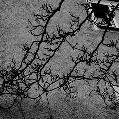 2009 - Avril - Balade seconde - Vigne (Glu⚇n du net ⨀⊙') Tags: urban germany munich münchen bayern vine munchen organic allemagne vigne wein mnchen nikond80