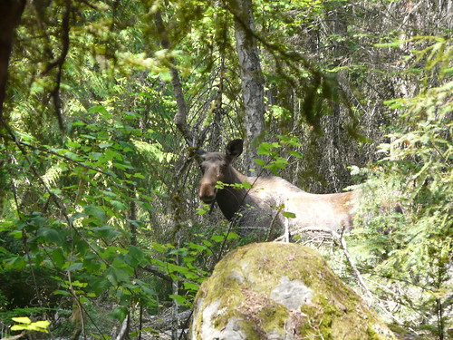 Curious young moose