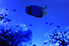 in the Blue... (ayu@nanami) Tags: fish aquarium
