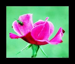 Quinta-flower...