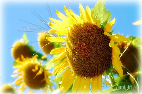 218b:365 Sunflowers