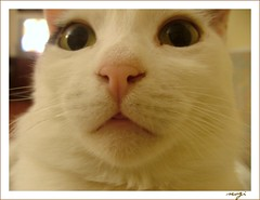 LOL PAMUK:) (sevgi_durmaz) Tags: friends pet me animal cat wonder funny im sweet lol lovely sweetface pamuk kissablekat lolcats impressedbeauty