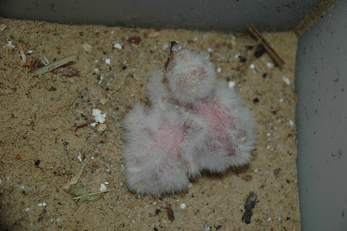 After a Hiatus of 30 Years, Burrowing Owl Chicks Hatch at the National Zoo