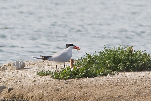 Caspian Tern w/fish by you.