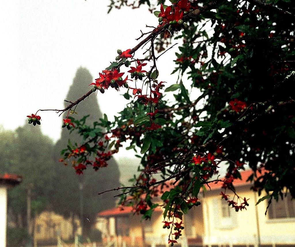 Цветок центурия