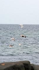 11 September 2009 (Copperhobnob) Tags: sea sky seagulls birds flying rocks waves aberdeenshire stcombsbeach