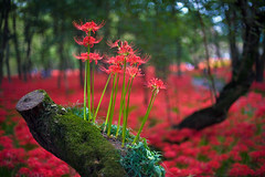 Red Spider Lily Filled Forest (aeschylus18917) Tags: park flowers red flower macro nature japan season 50mm woods nikon seasons  saitama  hanno lycorisradiata spiderlily  higanbana saitamaken koma potofgold nikkor50mmf14d amaryllidaceae 50mmf14d  lycoris redspiderlily    kinchakuda 50mm14d asparagales saitamaprefecture d700  danielruyle aeschylus18917 danruyle druyle    hann hannshi lycorideae kichakudapark kinchakudapark