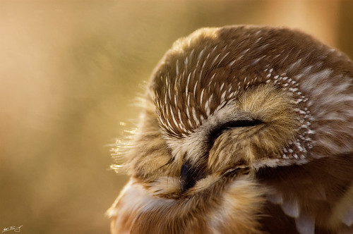 Northern Saw-Whet Owl von Matt Bango