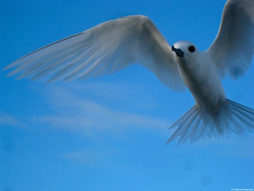 White Tern on Midway