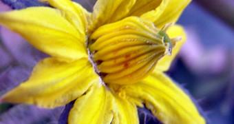 Flor de Tomate Raf mordida por abejorro, hemos cambiado el color para que veas mejor los dos puntos marrones que indican donde mordió