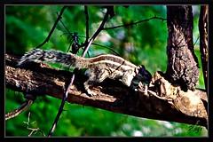 Birds_Animal (7) (My Pixel Magic) Tags: animal canon squirrel canon500d canonlens animalaction treeanimal animalinaction indiananimal indiansquirrel squirrelinaction animalofindia actionofanimal canondslr500d canonn55250mmlens squirrelofindia squirrelonthetree