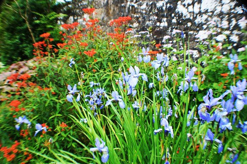Iris Siberica and Euphorbia Griffithii