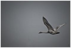 L'envol (s.chauch) Tags: bird nature birds pentax sigma 300mm adobe nocrop oiseau cygne oiseaux k10 70300 cs4 destauration schauch