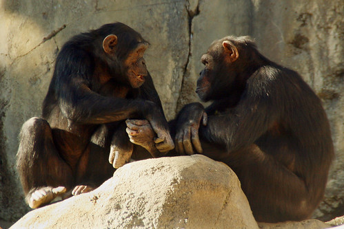 Chimp Chit Chat