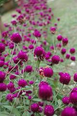 "take me away (explored) (shyninglyt *("",)*) Tags: flower macro nature purple bokeh nikond70s baguio lifehouse takemeaway explored hbw sooc flickristasindios seenonflickr shyninglyt debbieramos"