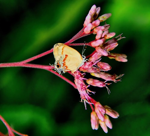Red-banded Hairstreak on Joe-Pye weed