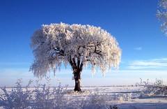 Alone (cherylb@mg) Tags: blue winter white snow tree field alone lone elm
