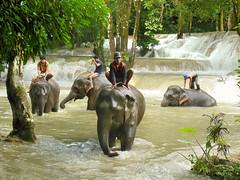 Afternoon elephant bathing (Bn) Tags: jungle laos topf100 luangprabang elephantride asianelephant mahouts turquoisewater 100faves aziatischeolifant elephantbathing elephanthandler limestonesteps tadsaewaterfall laoselephant numerouscascadesandpools landvaneenmiljoenolifanten afternoonelephantbathing